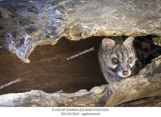 Common genet (Genetta genetta) portrait. Pyrenees. Catalonia. Spain. Captive