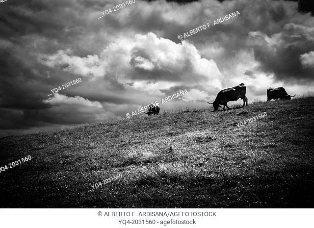 Cows grazing along the coast of Llanes. Asturias. Spain