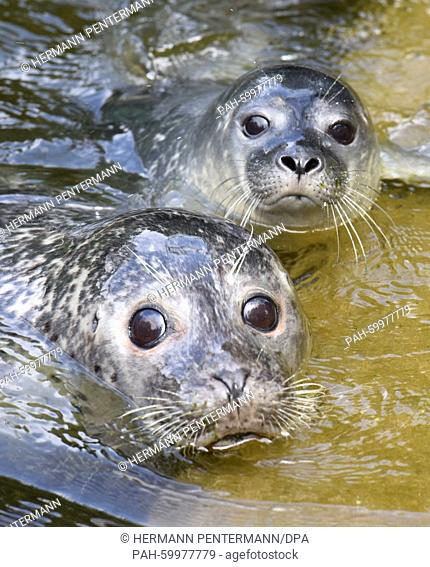 Female seal Alice (front) with her daughter Rieke, at Osnabrueck Zoo, Germany, 6 July 2015. Osnabrueck Zoo are pleased about the two new baby seals