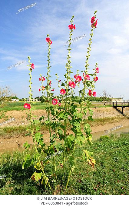 Common hollyhock (Alcea rosea) is a biennial herb native to China but naturalized in Europe. This photo was taken in Talmond-sur-Gironde, Charente-Maritime