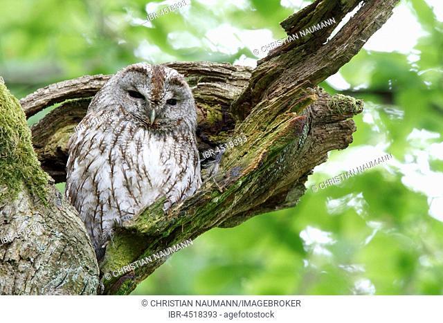Woodchuck (Strix aluco) sitting in tree, sleeping tree, Hesse, Germany