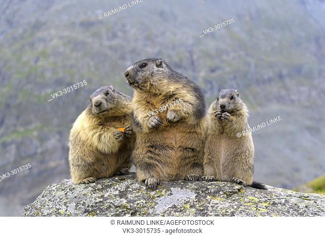 Alpine Marmot, Marmota marmota, two adult with young, Hohe Tauern National park, Austria