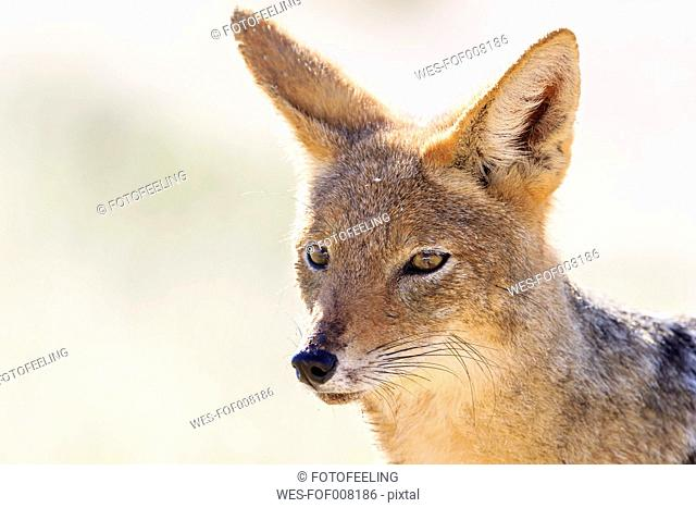 Botswana, Kalahari, Kgalagadi Transfrontier Park, portrait of fennec