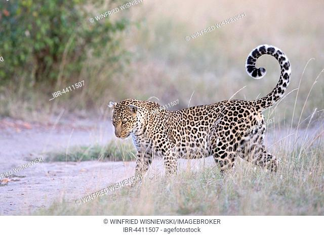 Leopard (Panthera pardus) in the savannah, Masai Mara, Kenya
