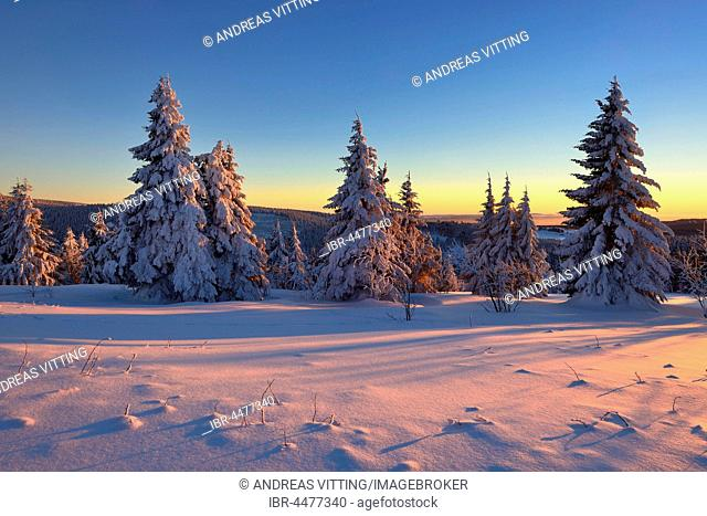 Sunset at Fichtelberg, spruces covered in snow, winter landscape, Oberwiesenthal, Saxony, Germany