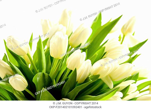 Bunch of white tulips spring flowers on white background