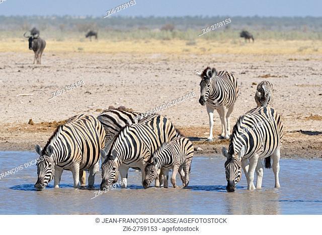 Herd of Burchell's zebras (Equus quagga burchellii), drinking in a waterhole, Etosha National Park, Namibia, Africa