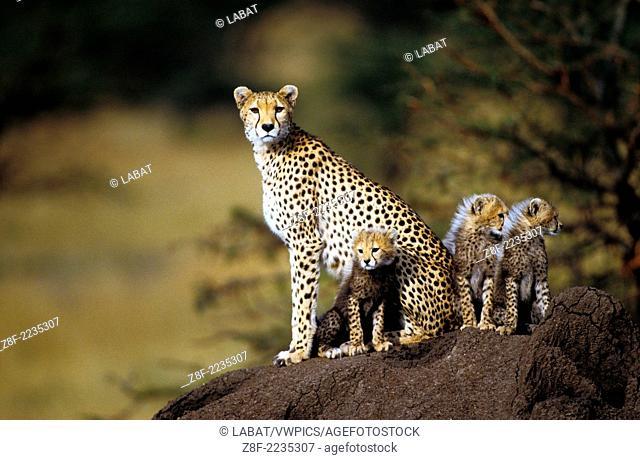 Cheetahs (Acinonyx Jubatus), Kenya