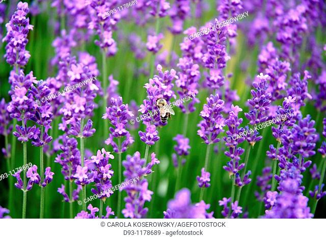Lavender Field with bee