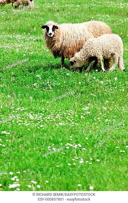 sheep with a lamb, Bosnia and Hercegovina