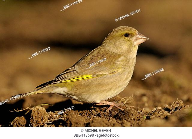 Greenfinch foraging on field in first light