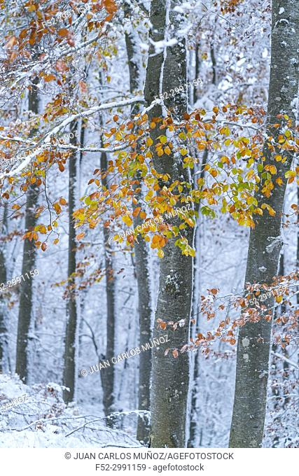 Snowy forest in autumn, Sierra Cebollera Natural Park, La Rioja, Spain, Europe