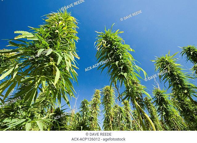 maturing industrial/commercial hemp field, Manitoba, Canada