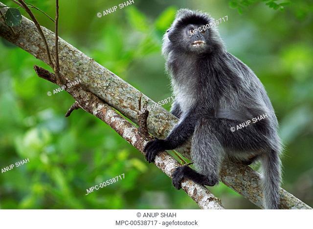 Silvered Leaf Monkey (Trachypithecus cristatus) in tree, Bako National Park, Sarawak, Borneo, Malaysia