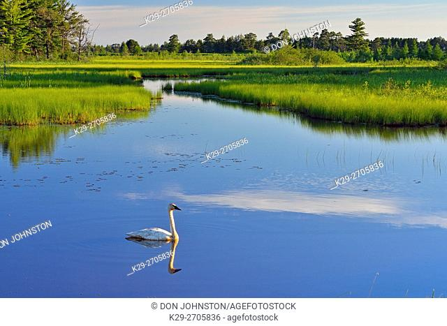 Trumpeter swan (Cygnus buccinator) in wetland pond, Seney NWR, Seney, Michigan, USA