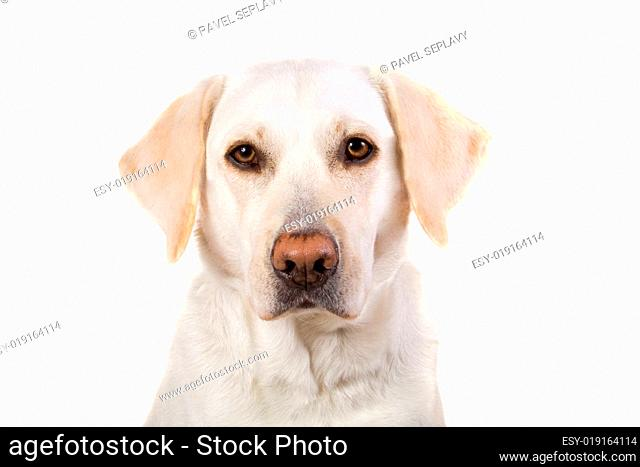 Portrait of a labrador retriever