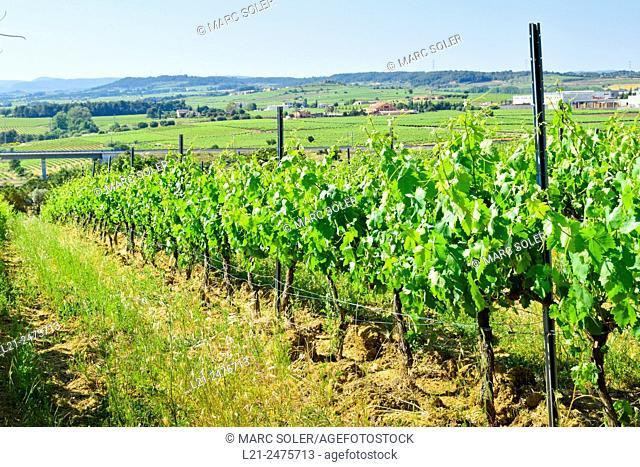 Spain, Catalonia, Alt Penedes, Barcelona province, Green vineyard