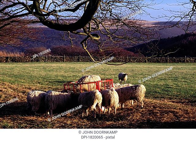 Sheep eating, Derbyshire, England