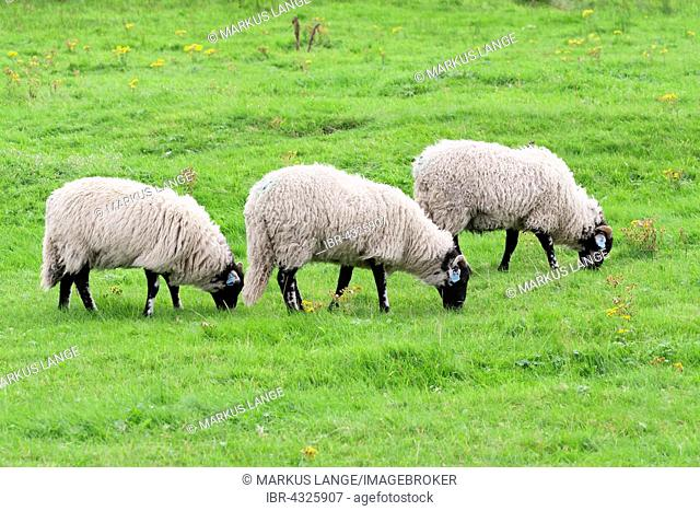 Three Swaledale sheep grazing in a meadow, Teesdale, County Durham, England, United Kingdom