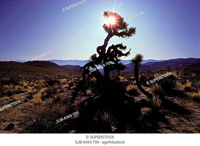 A lone Joshua tree Yucca brevifolia in the Coso Mountains. The largest of the yuccas, characteristic of the Mojave Desert, symbolic for the area