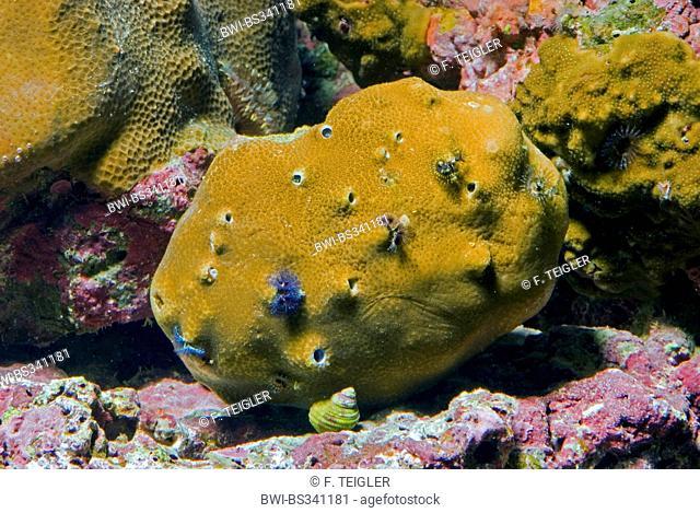 Stony Coral (Porites mayeri), side view