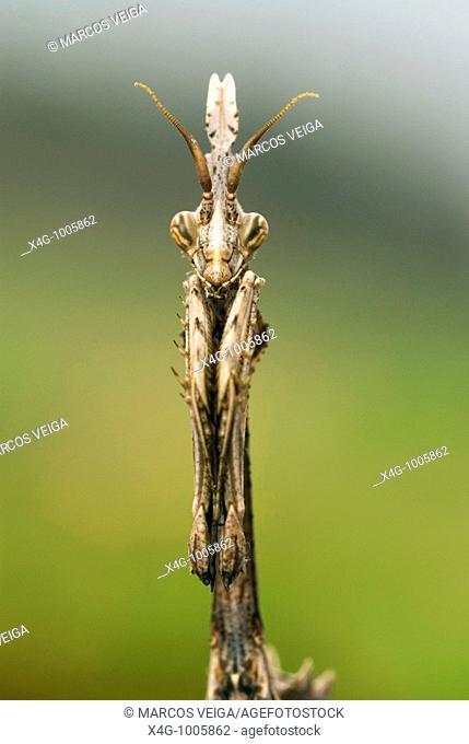 Retrato de una mantis palo, Portrait of a conehead mantis, Empusa pennata  Pontevedra, España