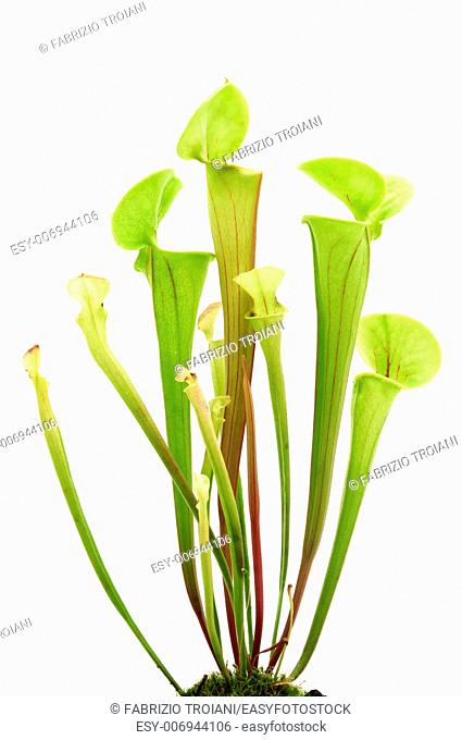 Yellow pitcher plant on a white background