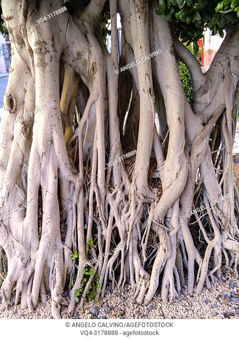 Roots of Ficus Tree in the city center of Alghero, Sardinia, Italy