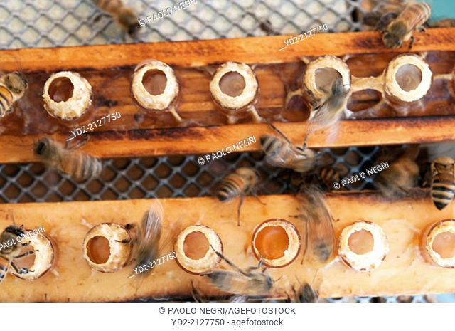 beekeper produced Honey bee queen by grafting larvae into artificial cell cups that mimic the natural size and form