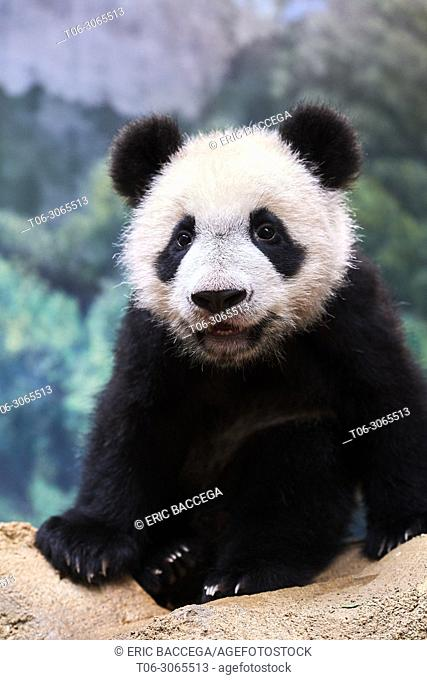Portrait of giant panda cub (Ailuropoda melanoleuca) captive. Yuan Meng, first giant panda ever born in France, is now 10 months old, Zooparc de Beauval