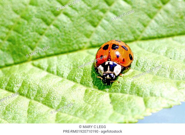 Harlequin Ladybird, Harmonia Axyridis var. succinea / Asiatischer Marienkäfer, Harmonia Axyridis var. succinea