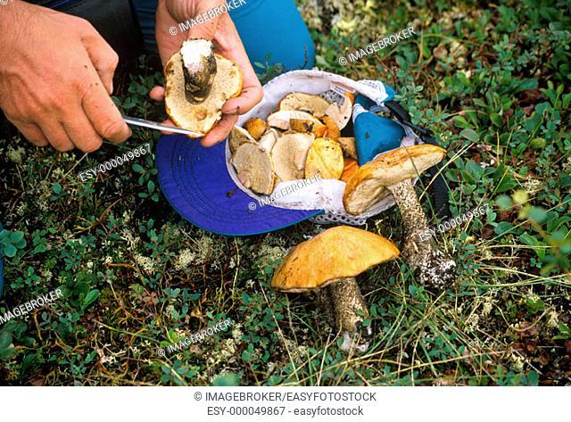 Picking mushrooms, Denali Range, Alaska