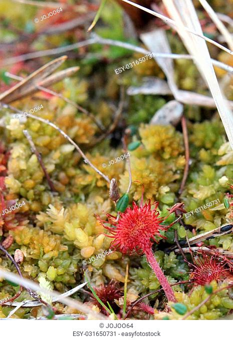 Common sundew (Drosera rotundifolia) in a Swedish mire