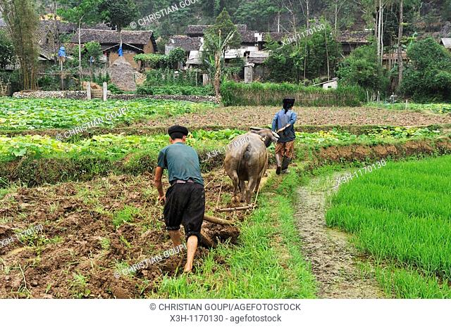 ploughing in paddy-fields around Dong Van,Ha Giang province,northern Vietnam,southeast asia