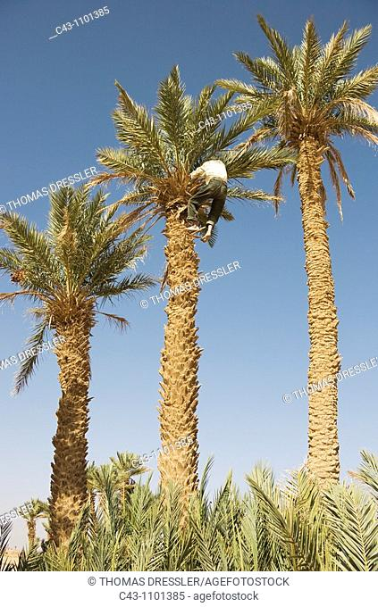 Morocco - Gathering the ripe dates from high date palm Phoenix dactylifera needs a certain amount of courage  During the date harvest in October in the...