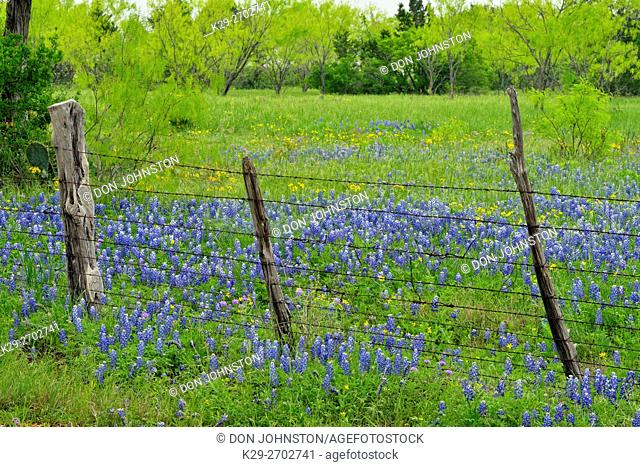 Roadside wildflowers and fenceline- Texas bluebonnets, Burnet County, Texas, USA