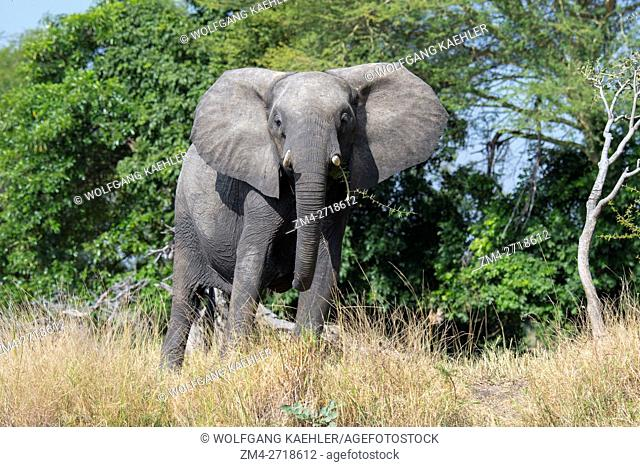 African elephant in Liwonde National Park, Malawi