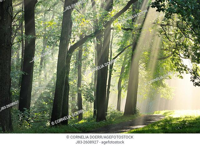 Sunlight shining through trees in the morning, Saxony, Germany, Europe