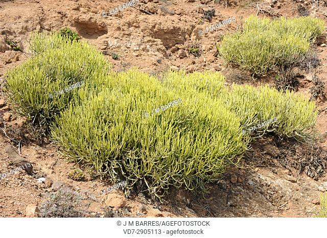 Tolda (Euphorbia aphylla) is a shrub endemic of Canary Islands (Gran Canaria, Tenerife and La Gomera)