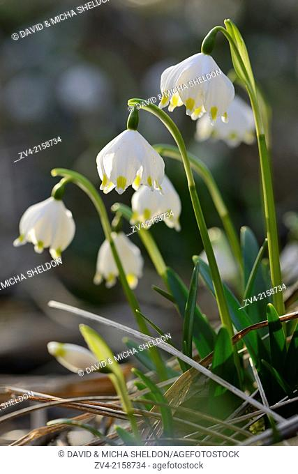 Close-up of Spring Snowflake (Leucojum vernum) blossoms in a forest in spring