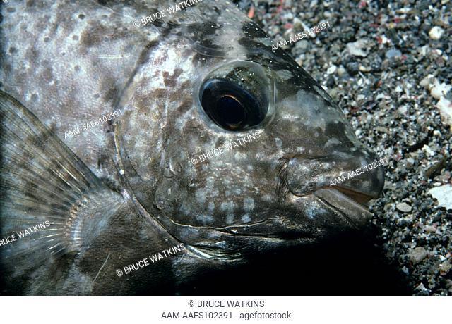 Vermiculated Rabbitfish aka Reticulated Spinefoot (Siganus vermiculatus) Indonesia