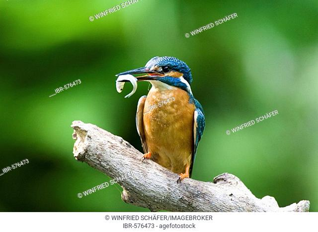 Common or European Kingfisher (Alcedo atthis) perched on a branch with a fish in its beak, Oberpleis, North Rhine-Westphalia, Germany, Europe