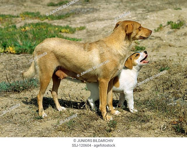 half breed dog and puppy - standing