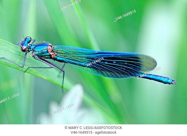 Banded Demoiselle, Calopteryx splendens, Male on grass Metallic blue damselfly with banded wing