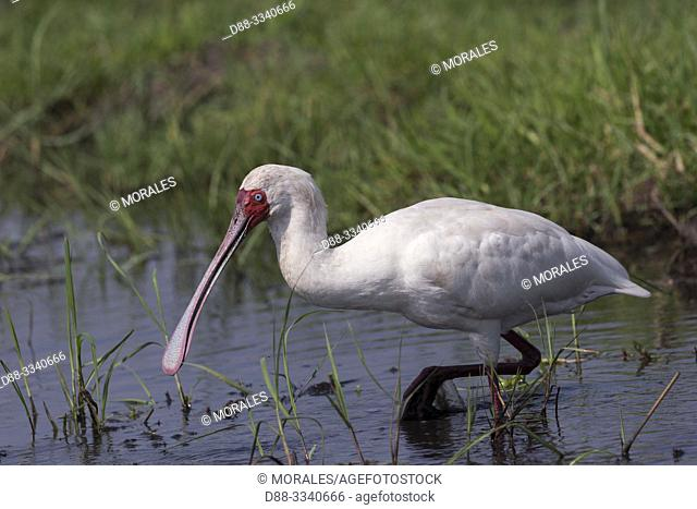 Africa, Southern Africa, Bostwana, Chobe i National Park, Chobe river, . African spoonbill (Platalea alba), looking for food in a marsch