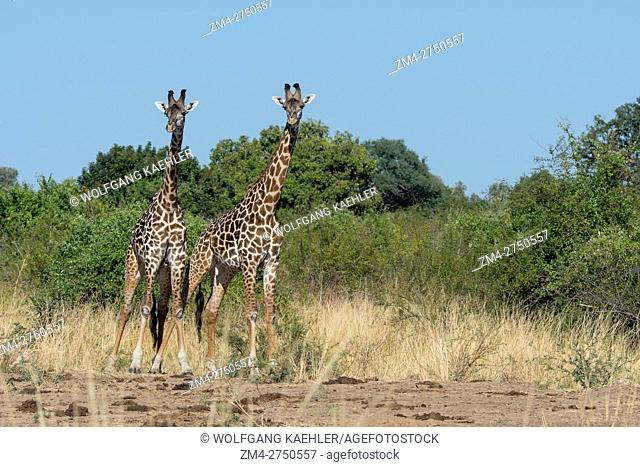 Young Thornicrofts Giraffe (giraffa camelopardalis thornicrofti) males in South Luangwa National Park in eastern Zambia