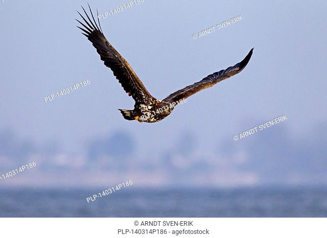 White-tailed Eagle / Sea Eagle / Erne (Haliaeetus albicilla) juvenile bird in flight above the sea