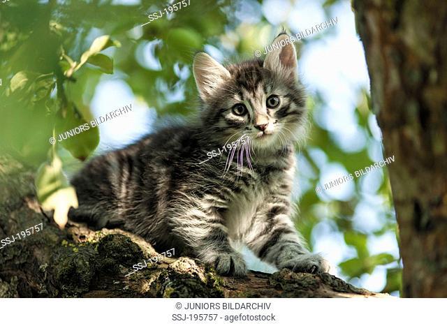 Norwegian Forest Cat Tabby kitten climbing in a tree Germany