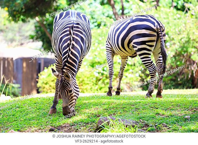 Two zebras graze on green grass at the Honolulu Zoo in Oahu Hawaii