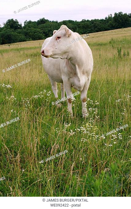 White cow standing among wildflowers in rural field
